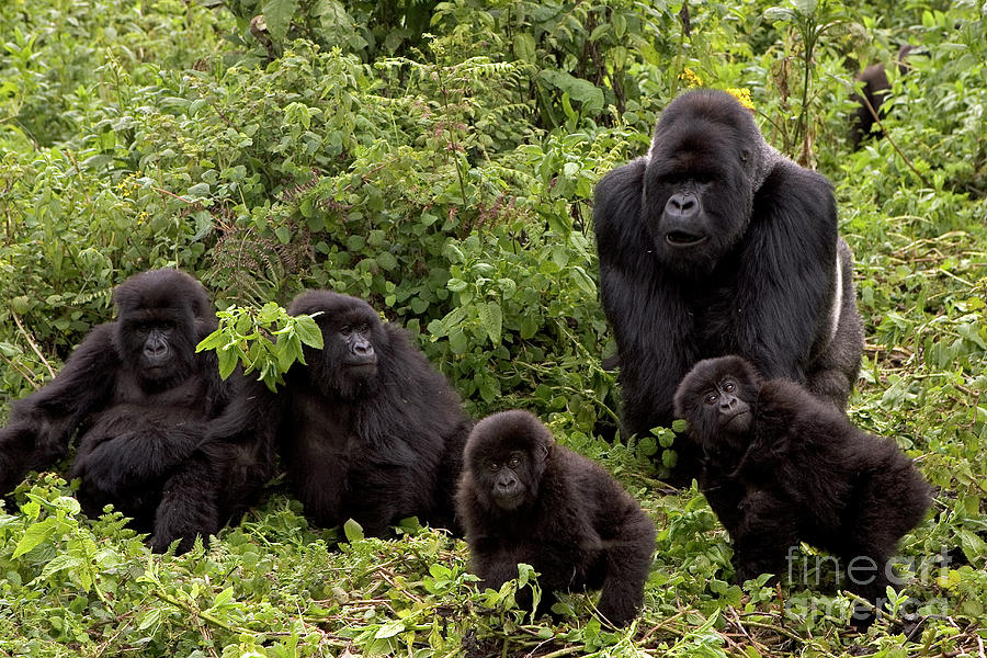 Mountain Gorilla Family by Ingo Arndt