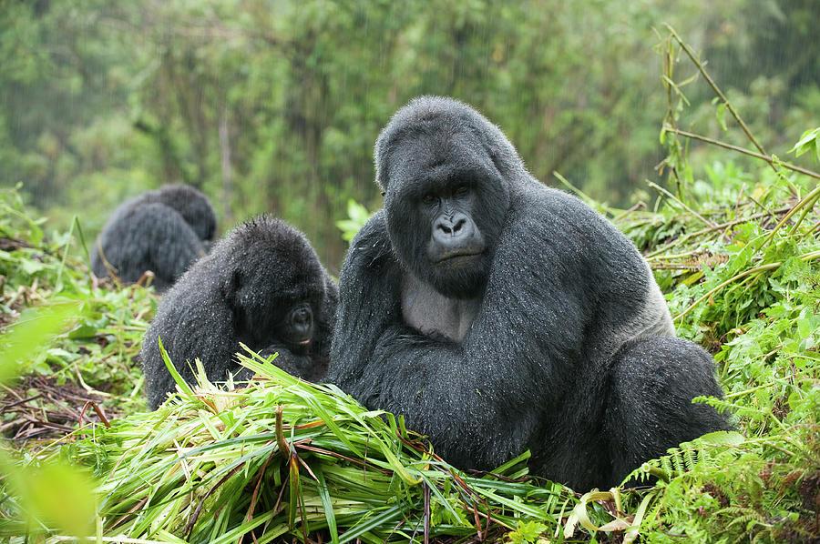 Mountain Gorilla Gorilla Gorilla Photograph by Ariadne Van Zandbergen