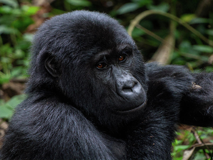 Mountain Gorilla by Peter Kennett