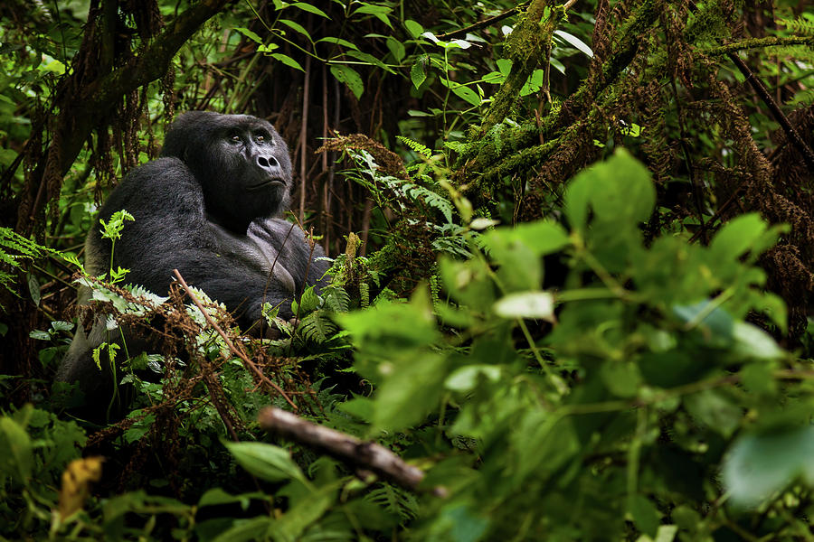 Mountain Gorilla, Volcanoes National Photograph by Mint Images - Art Wolfe