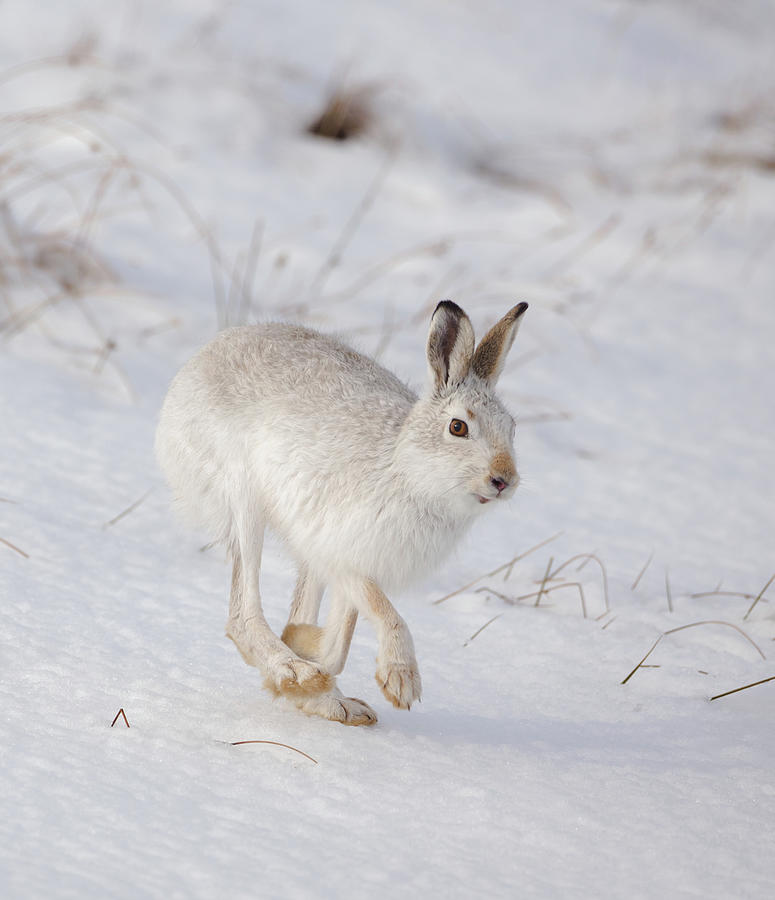 Mountain Hare Hopping Along by Peter Walkden