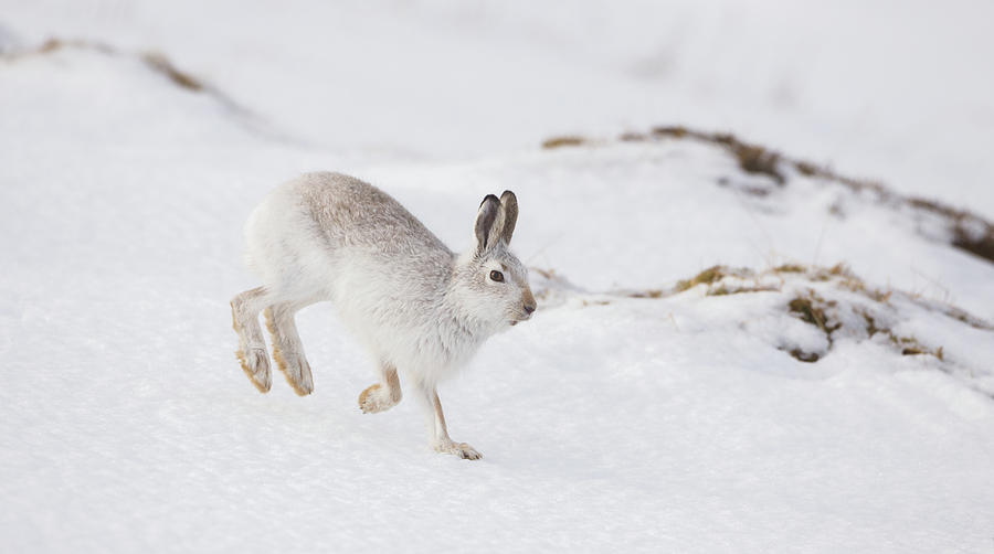 Mountain Hare Hopping Down A Hill by Peter Walkden