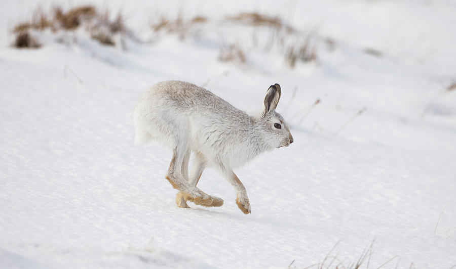 Mountain Hare Hops By by Peter Walkden