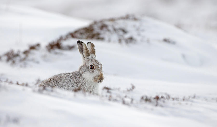 Mountain Hare In Deep Snow by Peter Walkden