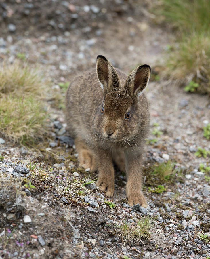 Mountain Hare Leveret Feeding by Peter Walkden