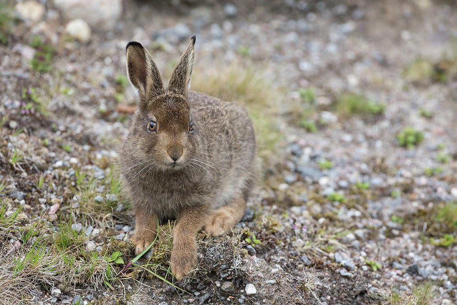 Mountain Hare Leveret On Gravel by Peter Walkden