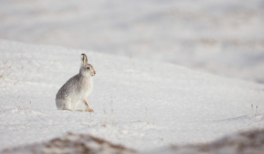 Mountain Hare Sat In The Snow by Peter Walkden