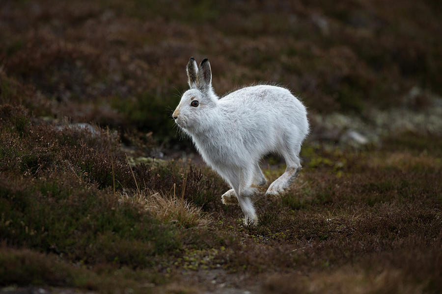 Mountain Hare Scampers Past by Peter Walkden
