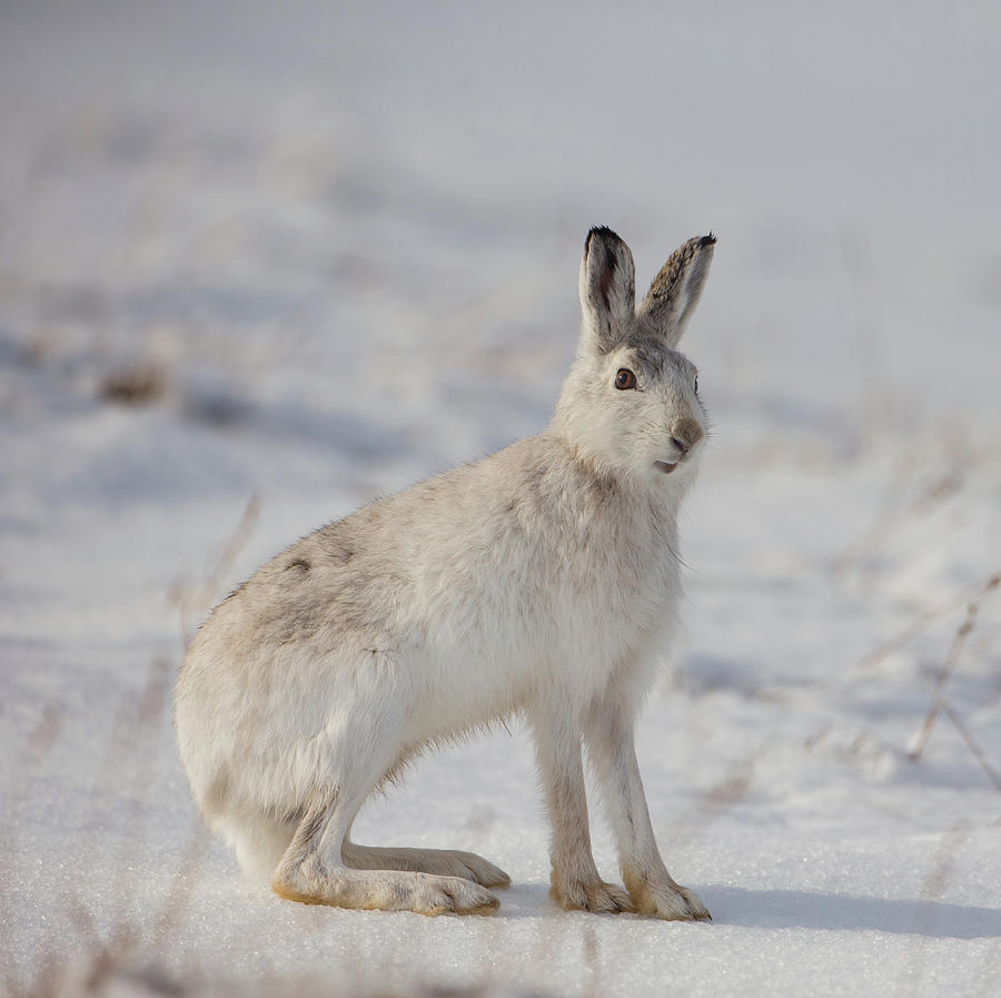 Mountain Hare Sits In Snow by Peter Walkden