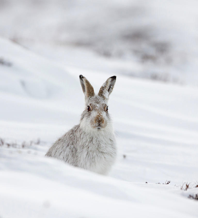 Mountain Hare With Snow On Its Nose by Peter Walkden
