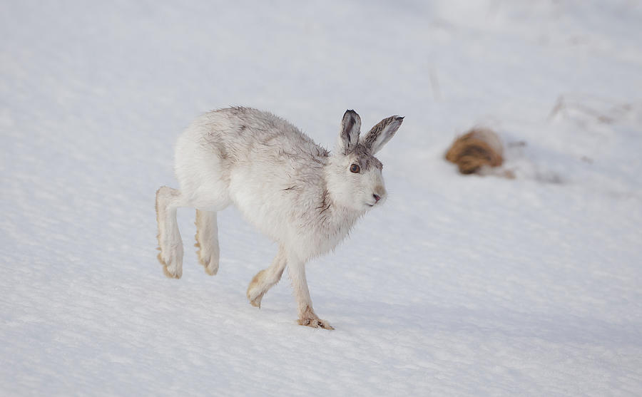 Mountain Hare With Wet Fur by Peter Walkden