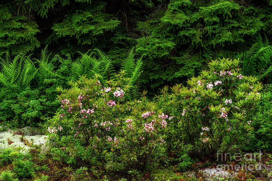 Mountain Laurel and Ferns by Thomas R Fletcher