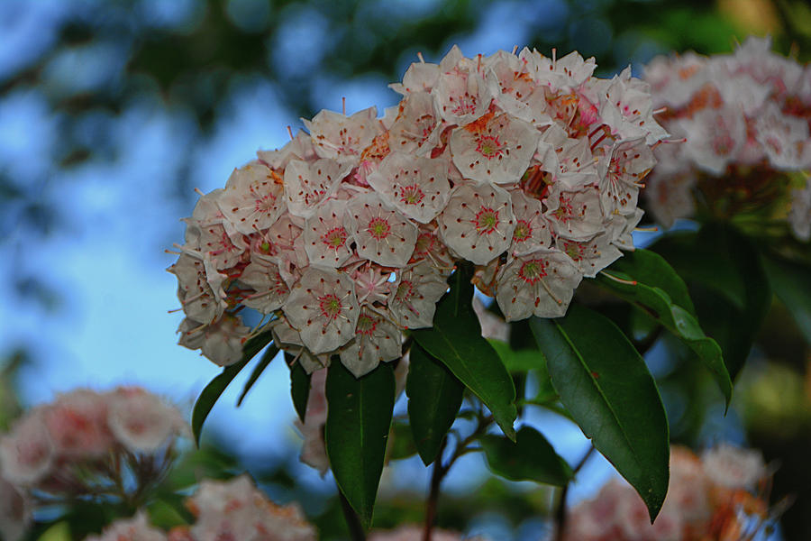Mountain Laurel Living on The NY Appalachian Trail by Raymond Salani III