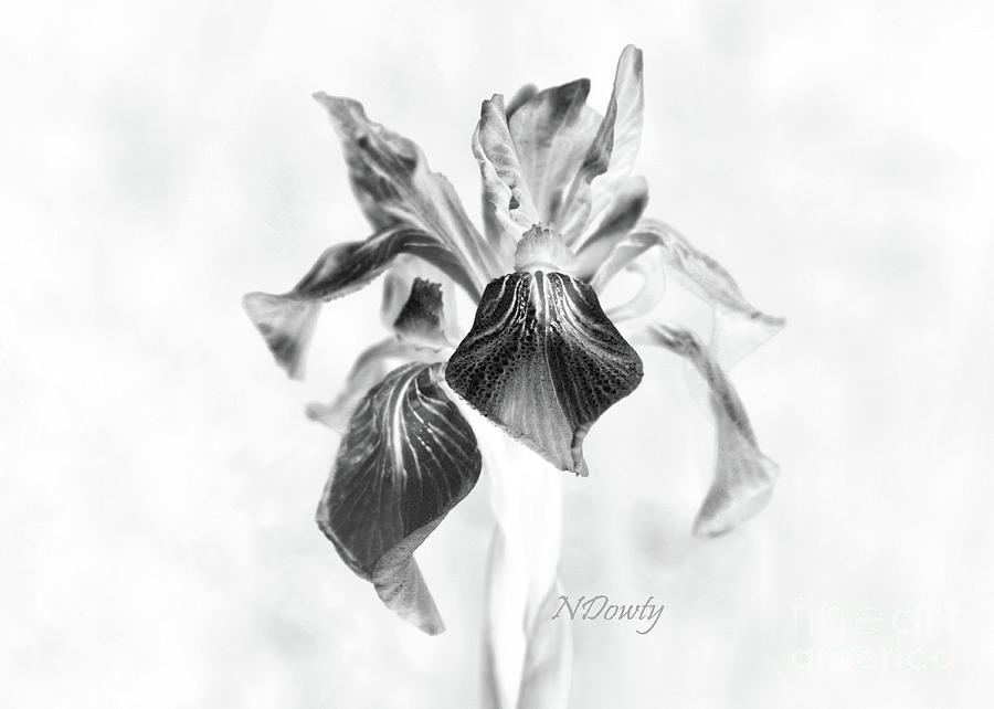 Mountain Lily by Natalie Dowty