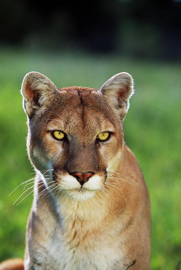 Vertical Photograph - Mountain Lion Felis Concolor, Portrait by Panoramic Images