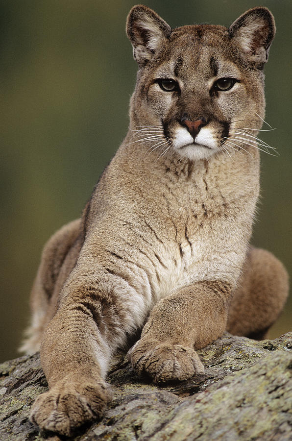 Mountain Lion Or Cougar, Felis Photograph by Mike Hill