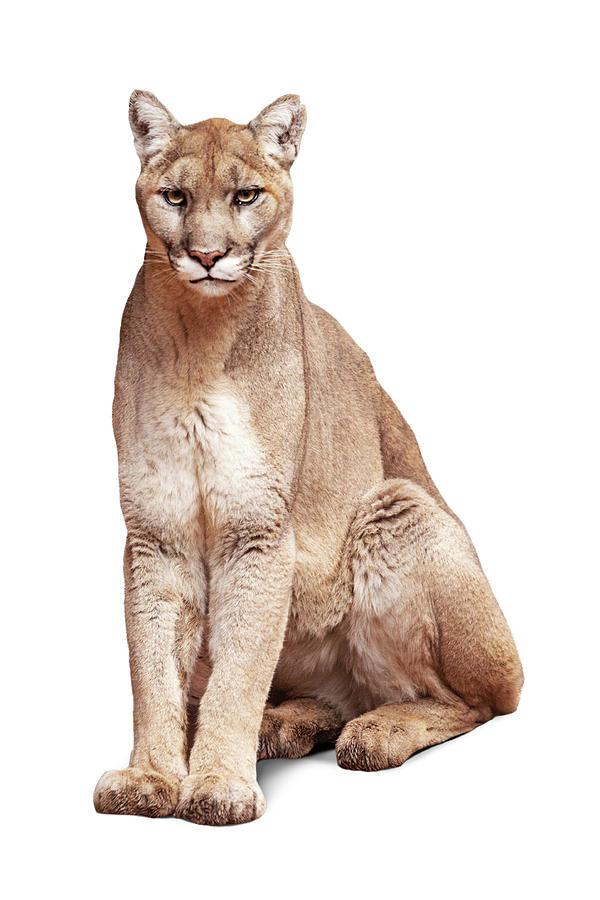 Mountain Lion Named Sierra by Susan Schmitz