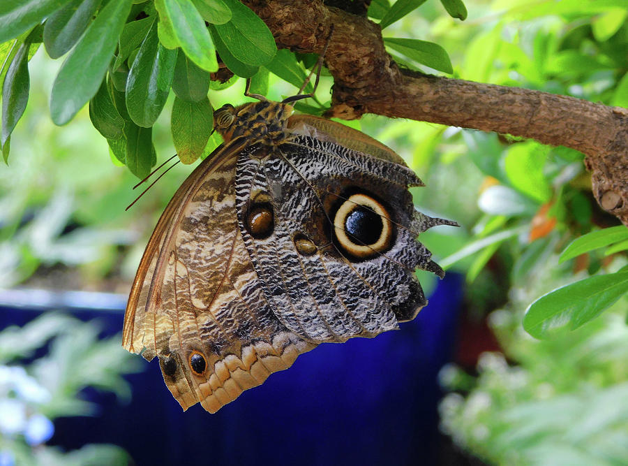 Mournful Owl Butterfly Upside Down by Emmy Marie Vickers