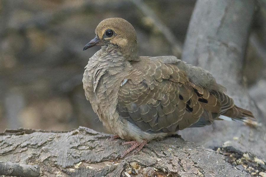 Mourning Dove 2810-071219 by Tam Ryan