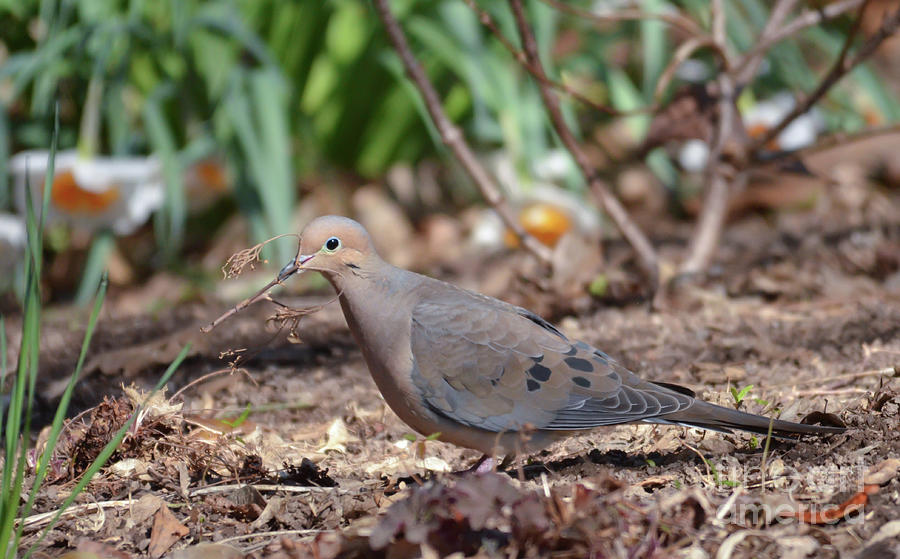Mourning Dove Gathering Twigs by Kerri Farley