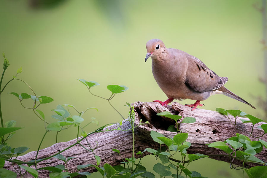 Mourning Dove on Log by Bill Wakeley