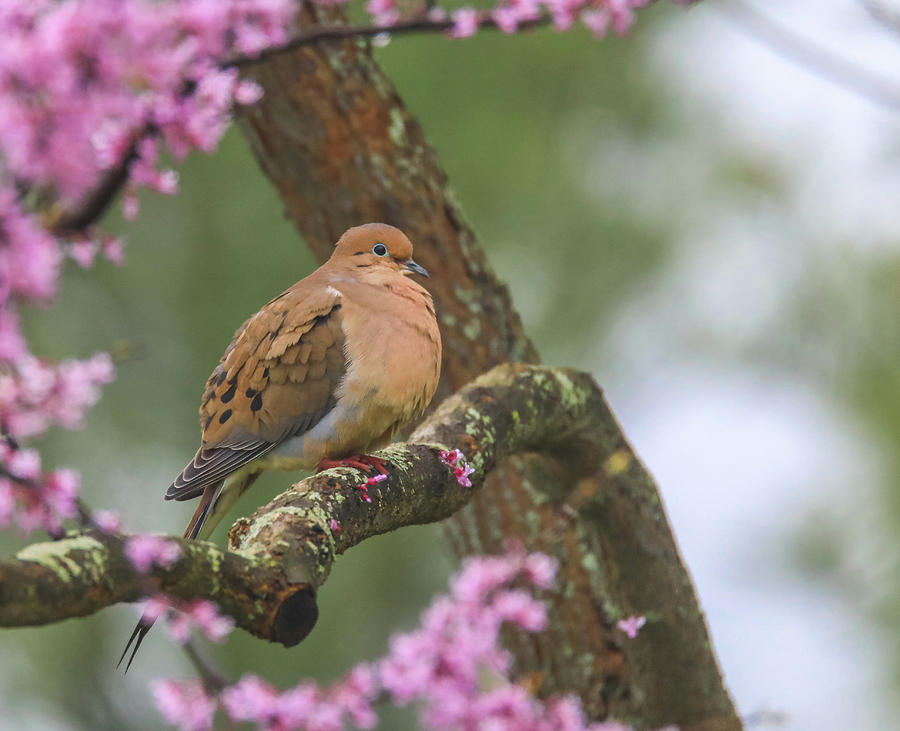 Mourning Dove On Redbud by Dan Sproul