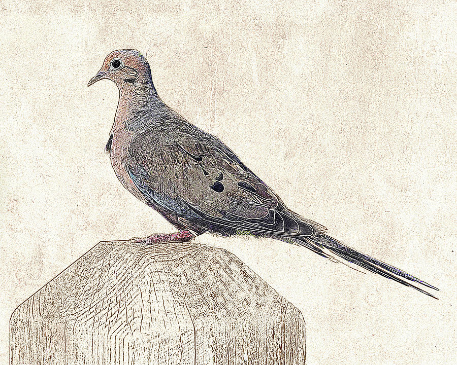 Mourning Dove - Photographic Drawing