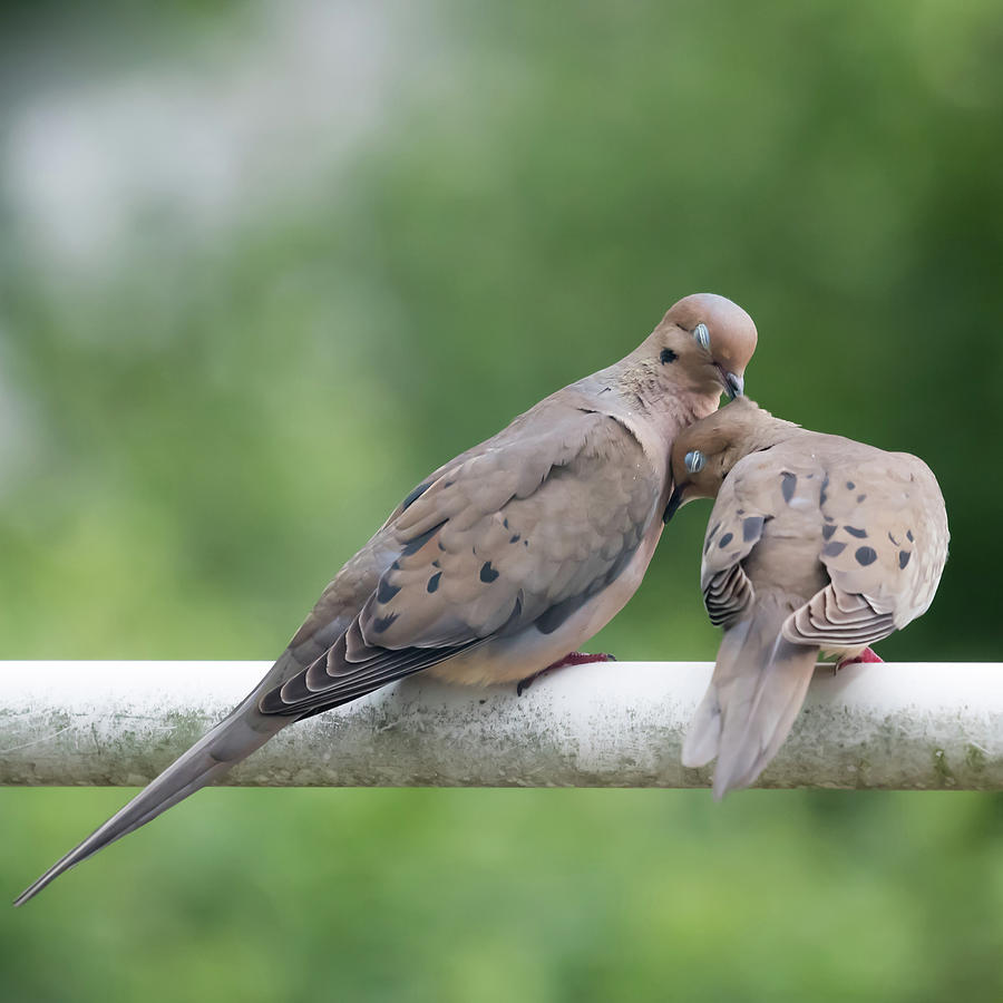 Mourning Love Doves Square by Terry DeLuco