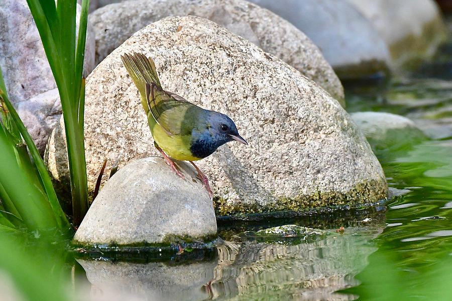 Mourning Warbler 3567 by Michael Peychich