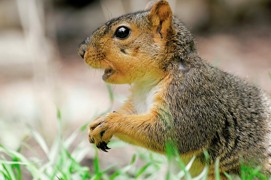 Mouthy Fox Squirrel by Don Northup