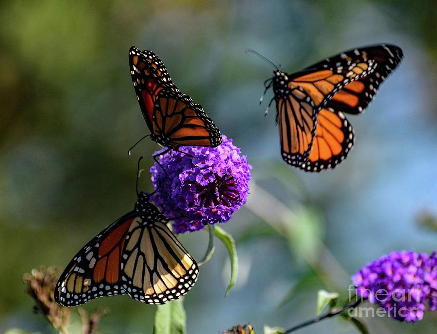Move Over Because Here I Come - Monarch Photograph