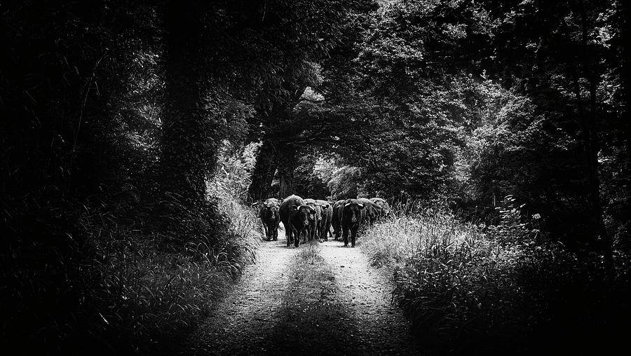 Moving Young Cattle along River Tamar. by Maggie McCall