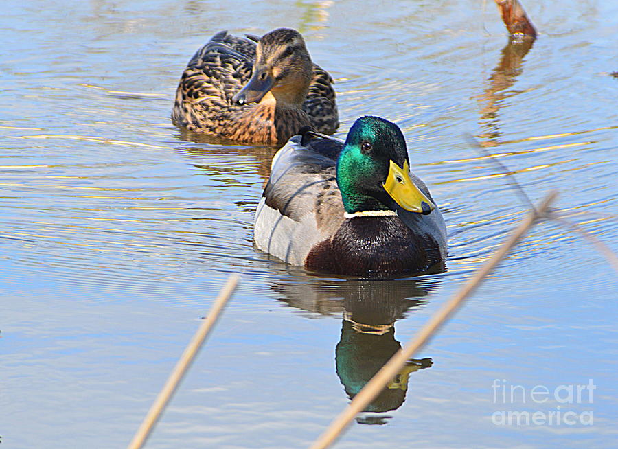 Duck Photograph - Mr And Mrs Duck by Andy Thompson