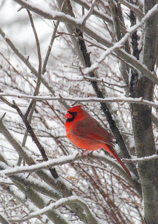 Mr. Cardinal by Michael Friedman