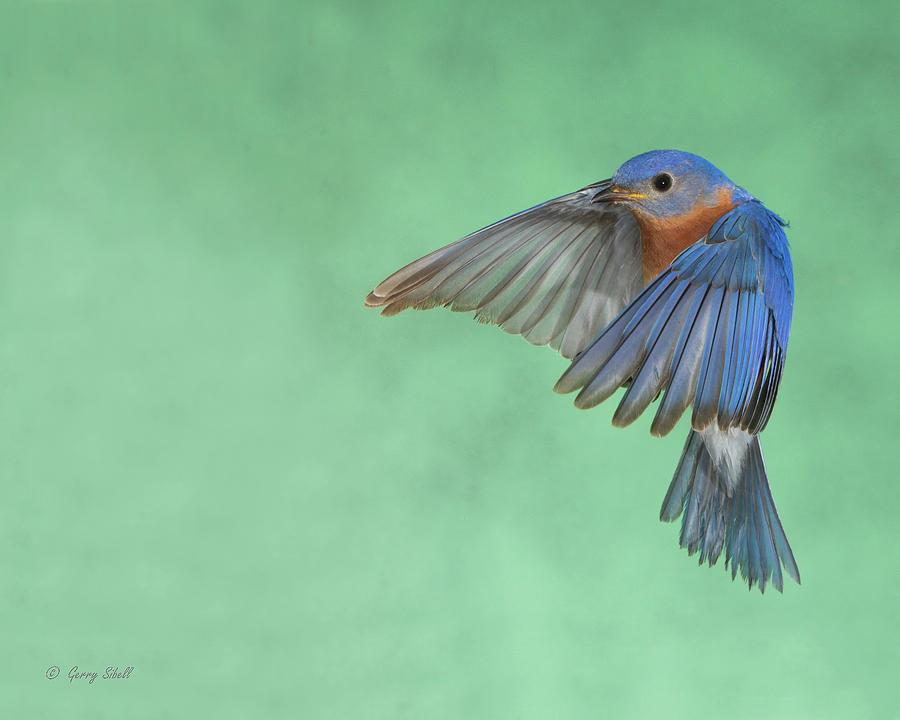 Mr. E Bluebird by Gerry Sibell
