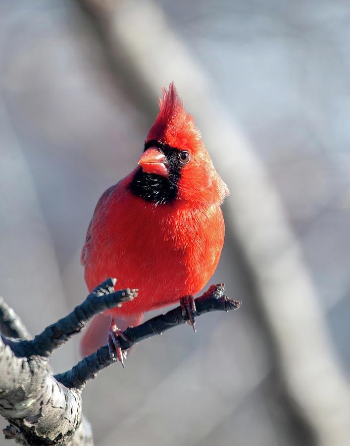 Mr. Handsome Cardinal by Lara Ellis