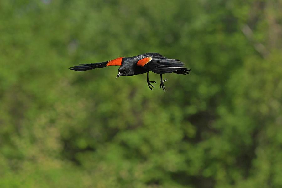 Red-winged Blackbird Photograph - Mr. Red-winged Blackbird In-flight by Asbed Iskedjian