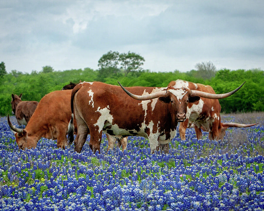 Longhorn Photograph - Mr. T and the Crew by Linda Lee Hall