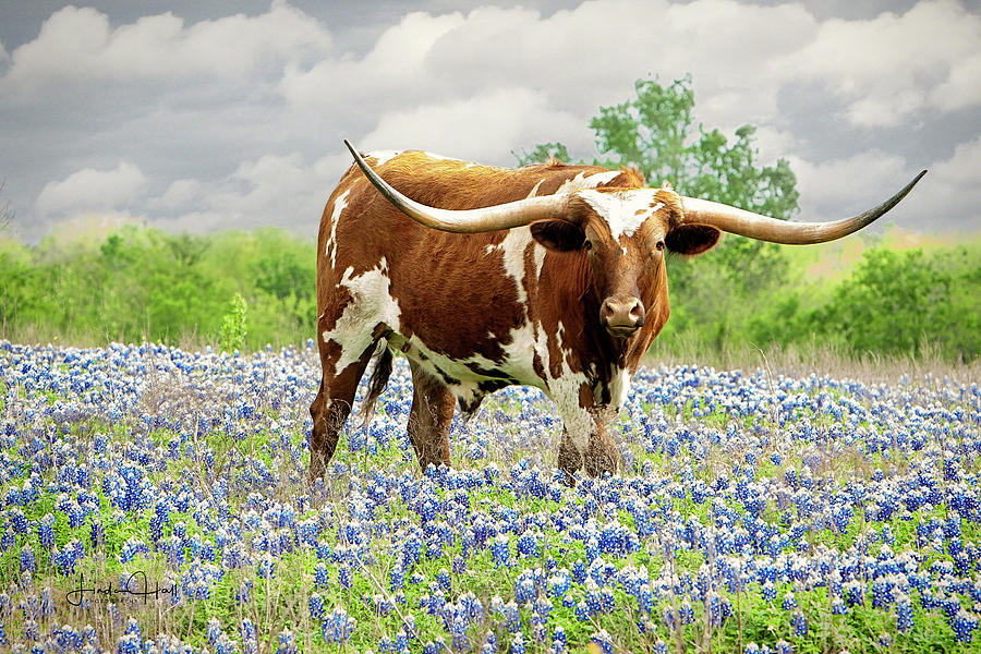 Longhorn Photograph - Mr. T in the Bluebonnets by Linda Lee Hall