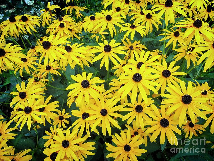 M's Black Eyed Susan Cluster by Dee Flouton