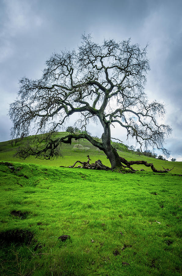 Mt Diablo Oak Tree by Scott McGuire