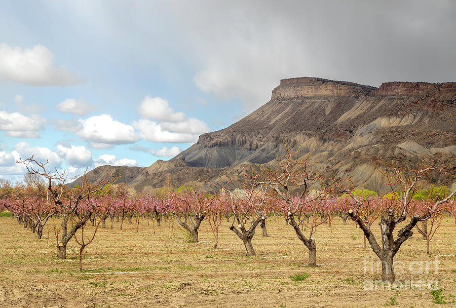 Mt Garfield and the Blooming Peach Trees of Palisade Colorado by Ronda Kimbrow