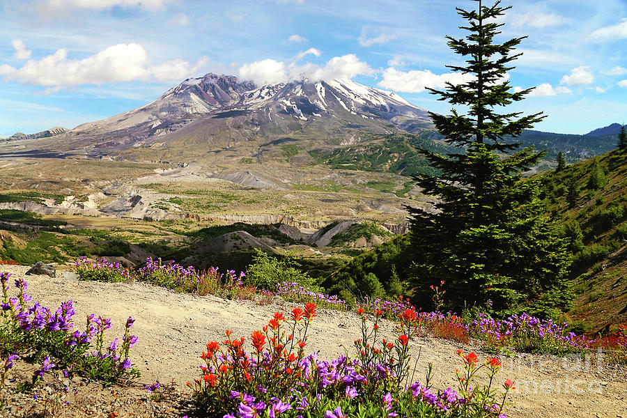Mt. St. Helens wildflowers by Sylvia Cook