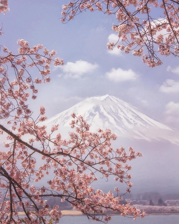 Cherry Blossom Photograph - Mt.fuji In The Cherry Blossoms by Makiko Samejima