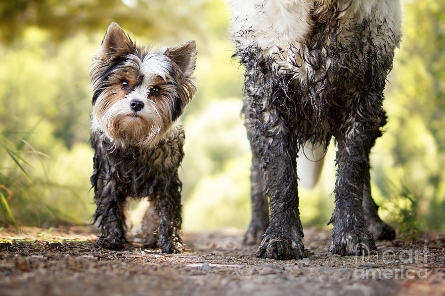 Big Photograph - Muddy Little Dog Stands Next To A Muddy by Stickler