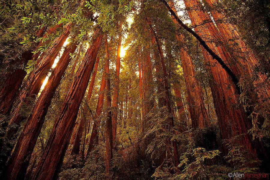 Muir Woods Photograph by Allen Parseghian