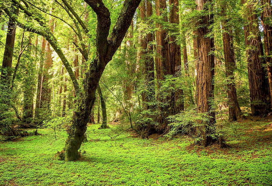 Muir Woods Forest Photograph by By Ryan Fernandez
