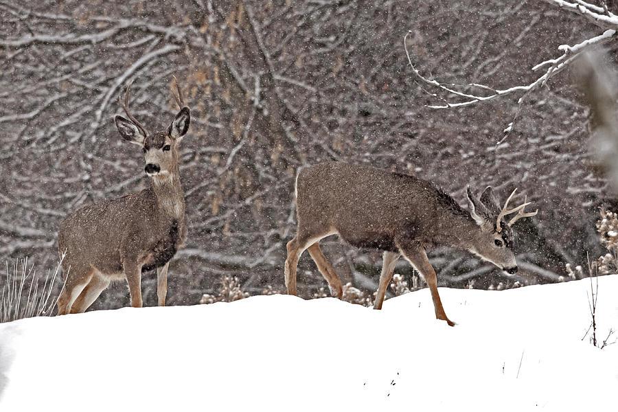 Mule Deer 4787  Odocoileus Hemionus Photograph