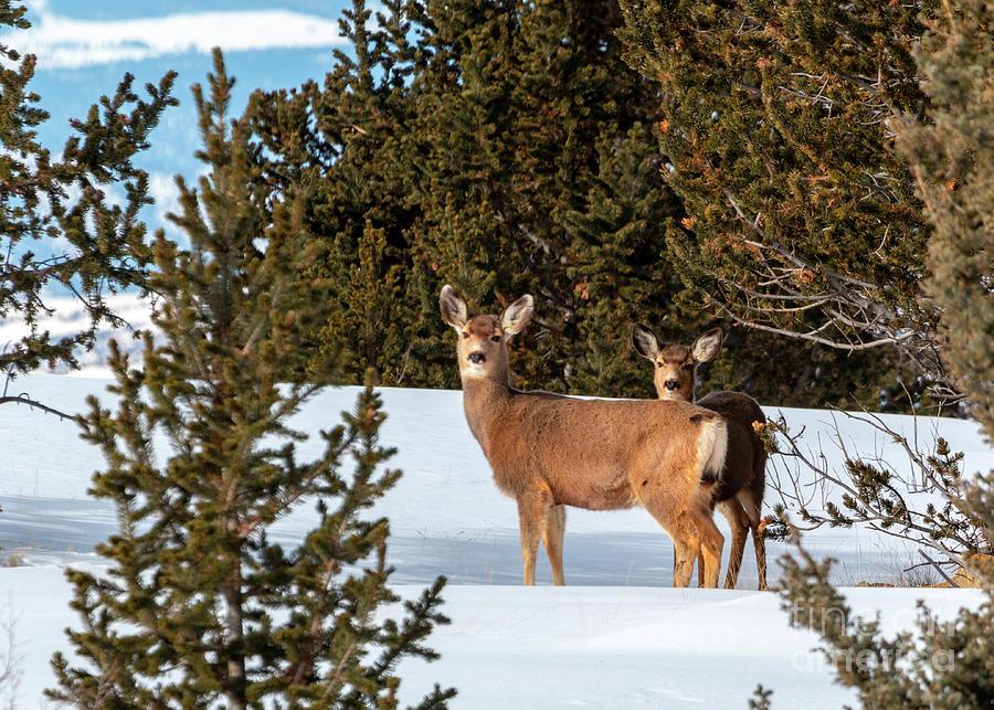 Mule Deer Herd In Deep Snow Photograph