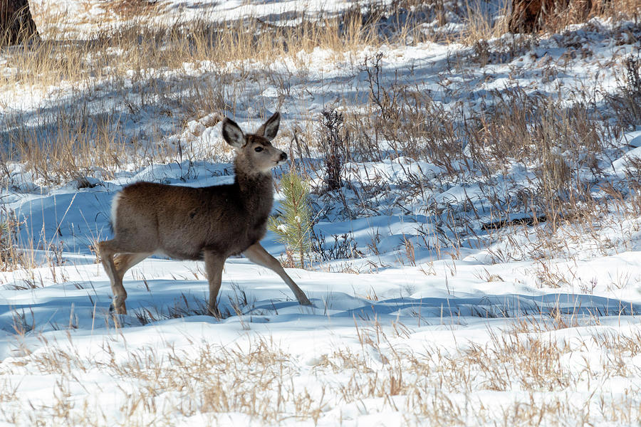 Mule Deer in the Winter by Steve Krull